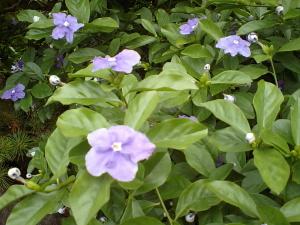 5/30開花
