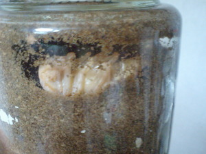 オオクワ蛹
