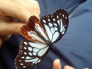 富士山の蝶