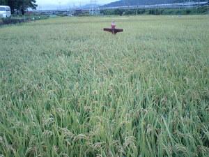 収穫前のキヌヒカリ